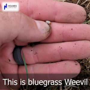 How to recognize Bluegrass Weevil