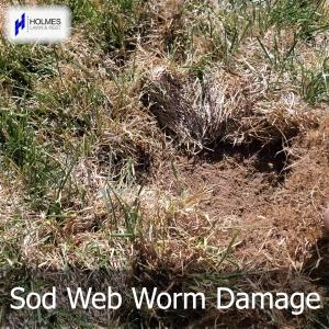 What Sod Worm Damage Looks Like